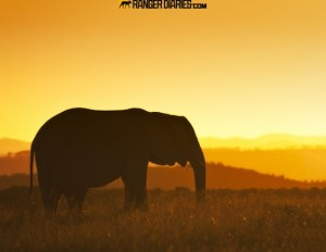 18.-golden-elephant-576x446