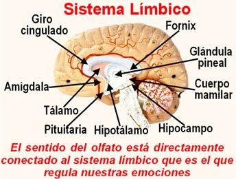 emociones sistema_limbico_y_sentido_del_olfato