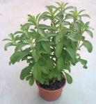 stevia planta maceta