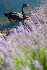 cisne flores agua lago