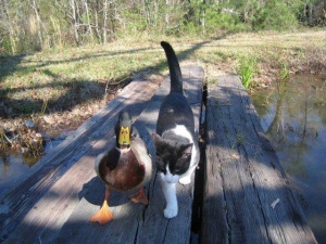 amigos pato gato