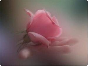rosa mano