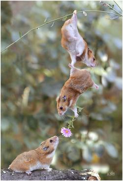 hamsters-flor